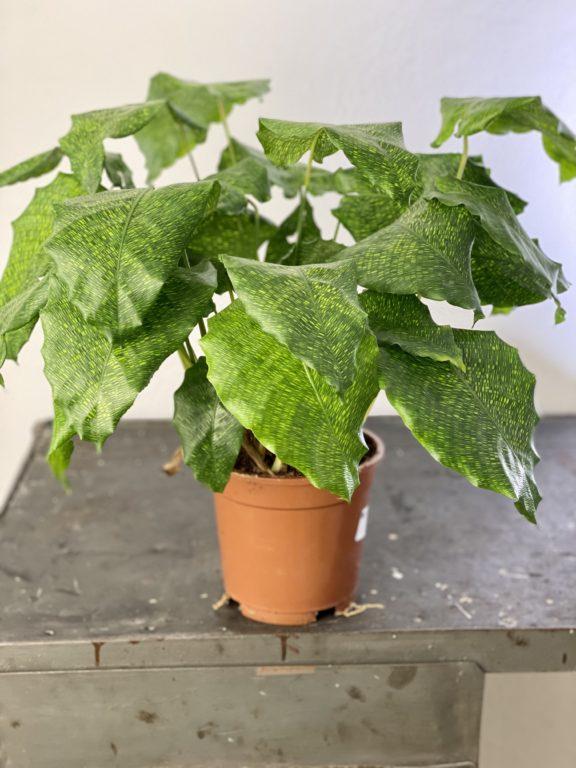 Zdjęcie rośliny Calathea Network (Mosaica), ujęcie 1