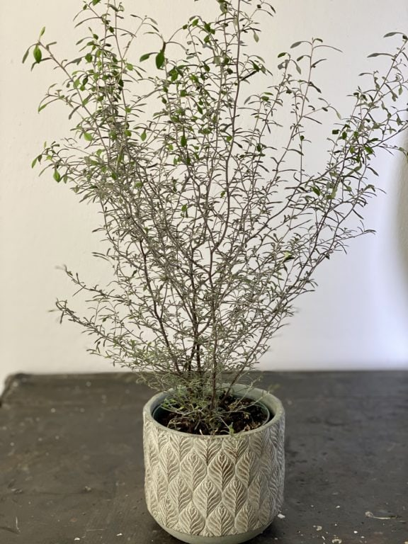 Zdjęcie rośliny Corokia Maori Silver, ujęcie 1