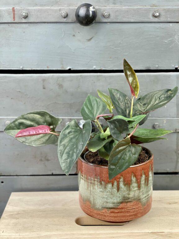 Zdjęcie rośliny Syngonium Erythrophyllum Red Arrow, ujęcie 1