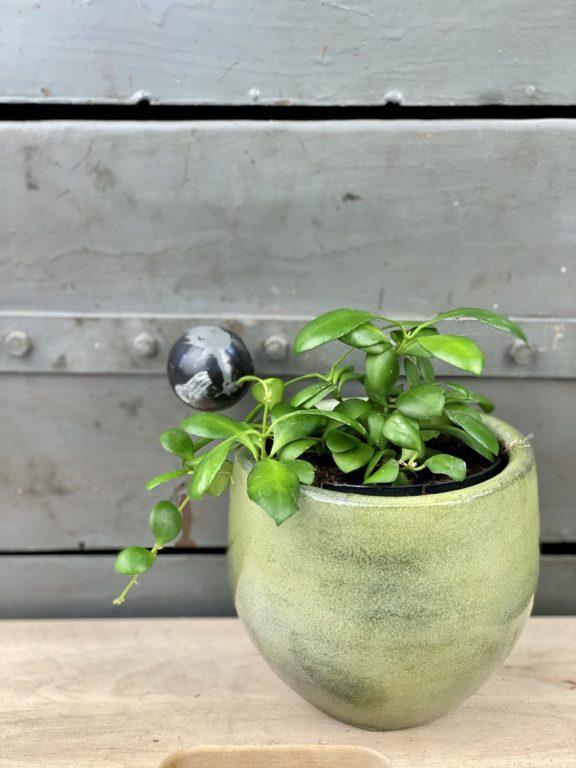 Zdjęcie rośliny Hoya Heuskeliana, ujęcie 1