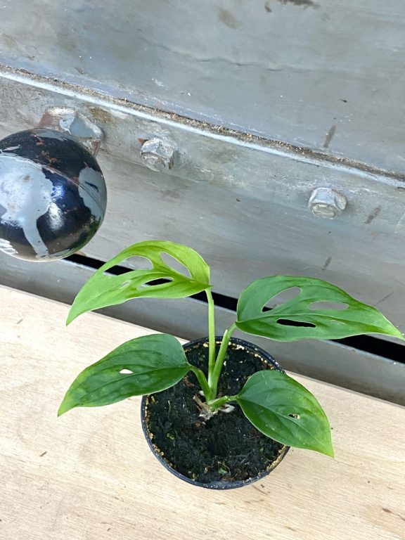 Zdjęcie rośliny Monstera Monkey Mask, ujęcie 1