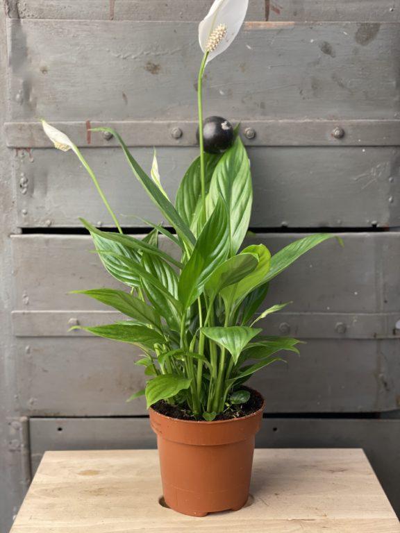 Zdjęcie rośliny Spathiphyllum Alana, ujęcie 1