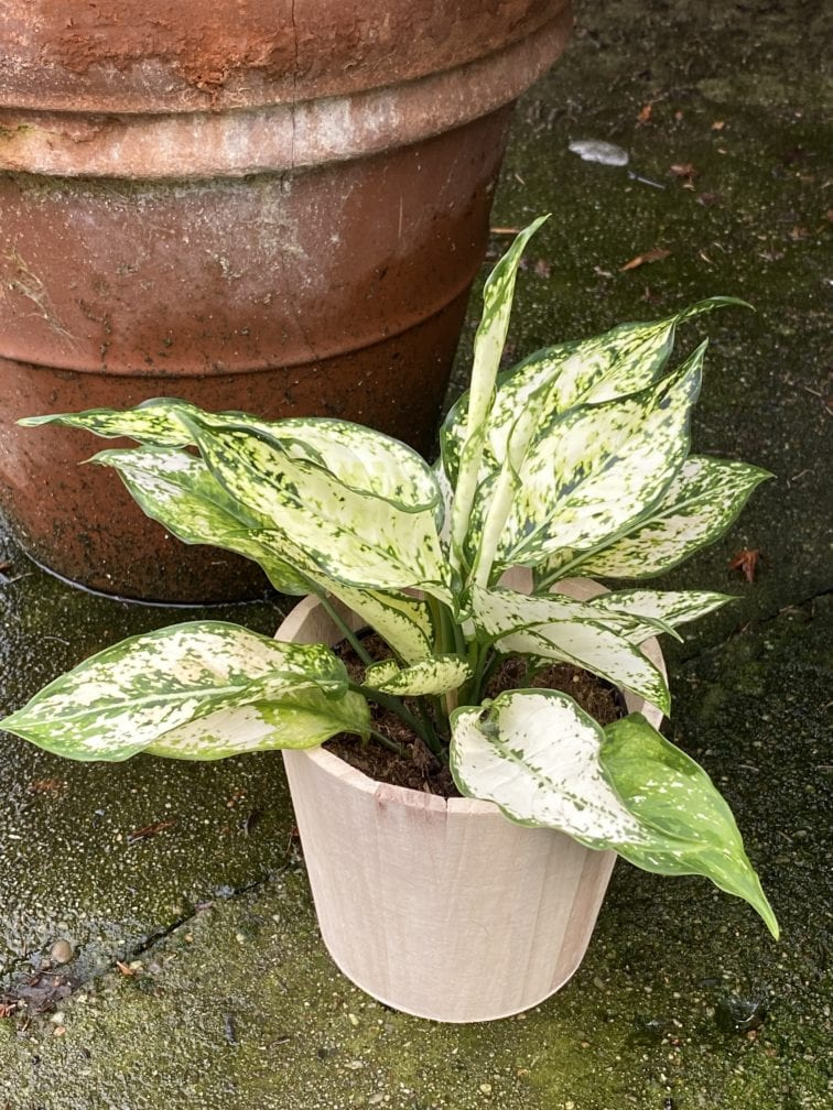 Zdjęcie rośliny Aglaonema Osaka, ujęcie 1