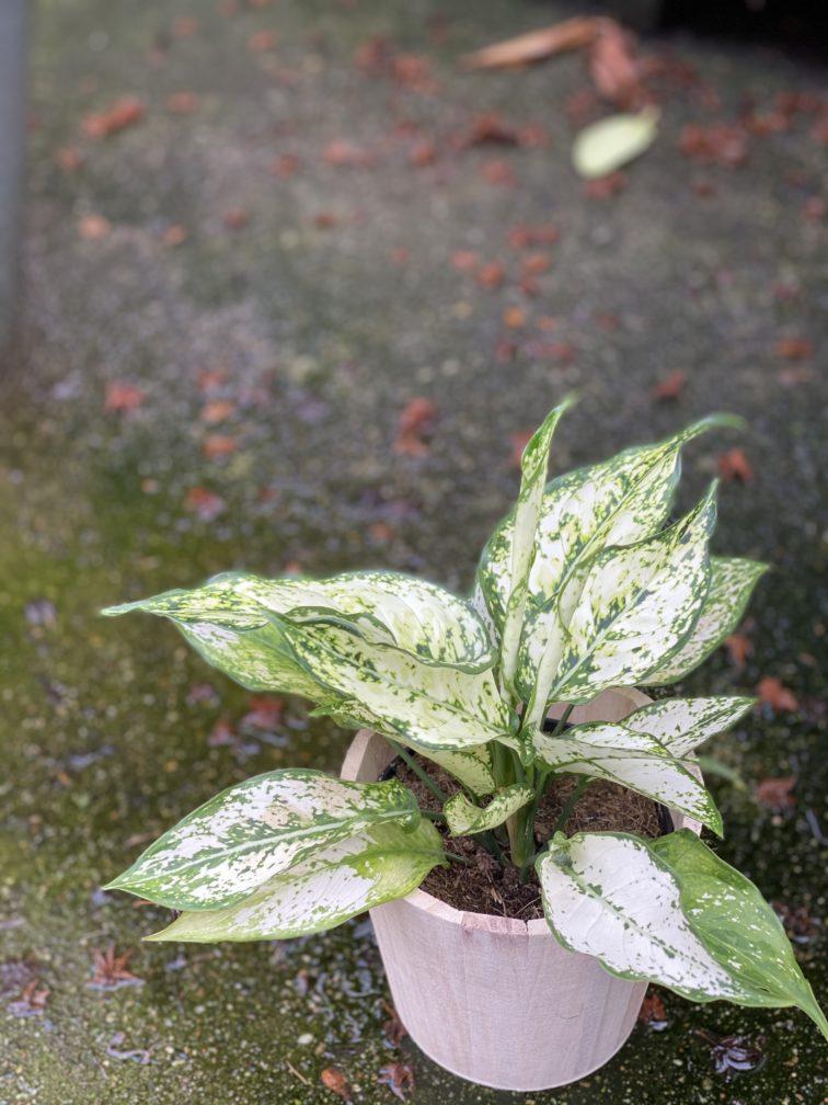Zdjęcie rośliny Aglaonema Osaka, ujęcie 2