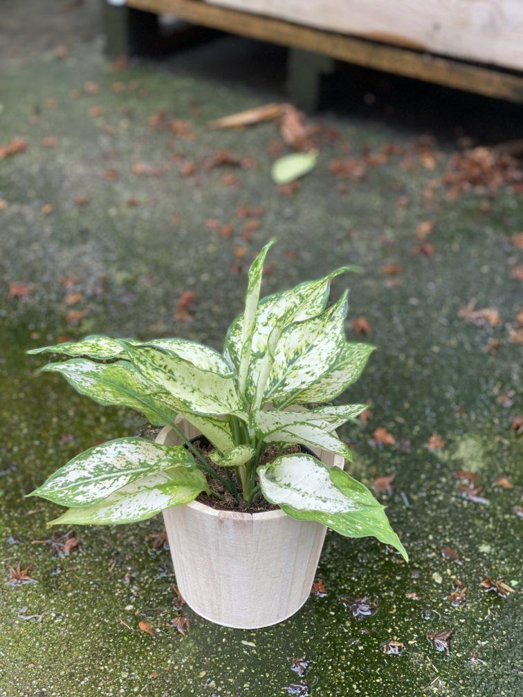 Zdjęcie rośliny Aglaonema Osaka, ujęcie 3