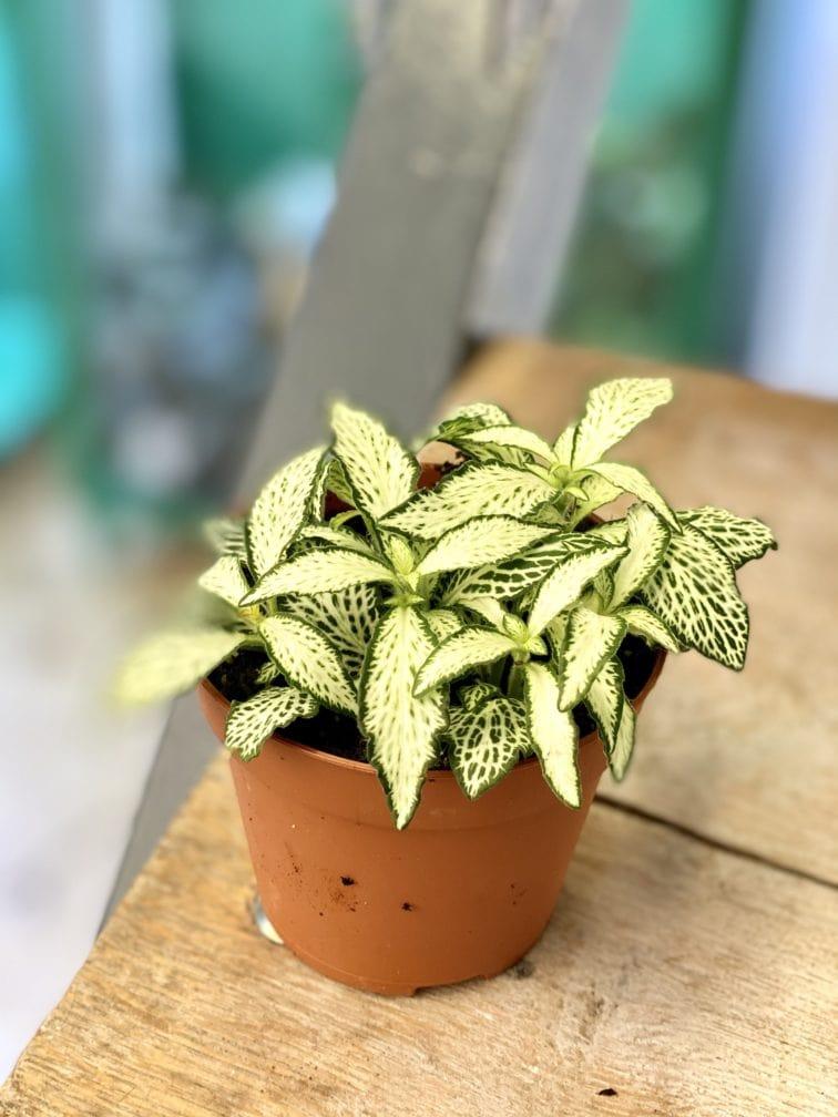 Zdjęcie rośliny Fittonia White Forest Flame, ujęcie 1