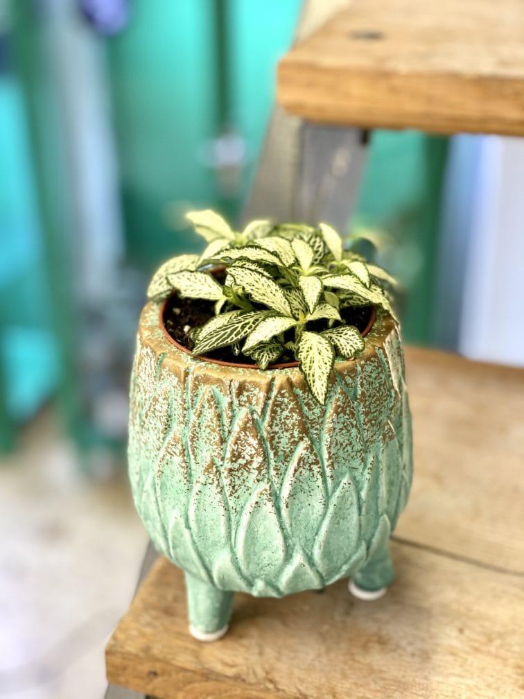 Zdjęcie rośliny Fittonia White Forest Flame, ujęcie 2