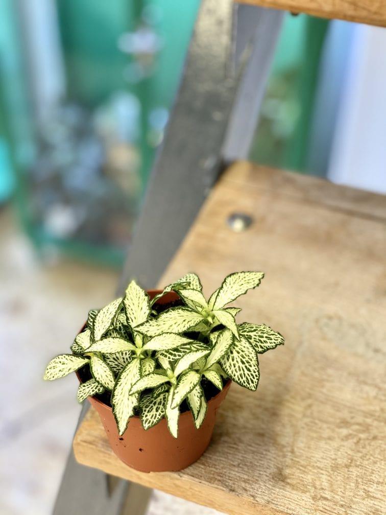 Zdjęcie rośliny Fittonia White Forest Flame, ujęcie 3