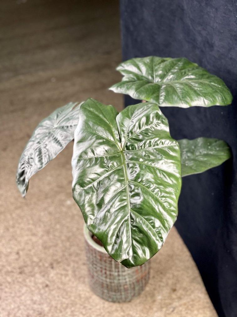 Zdjęcie rośliny Alocasia Nairobii Nights, ujęcie 3