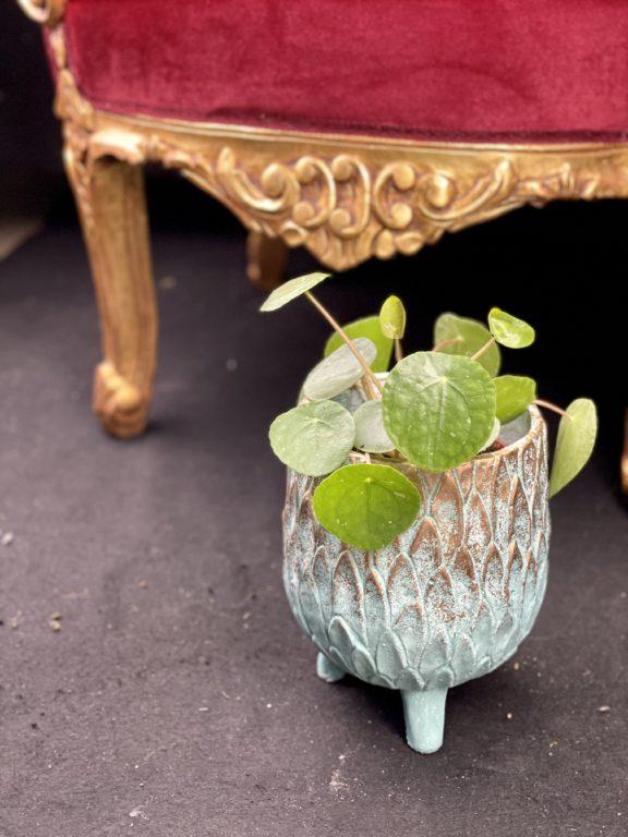 Zdjęcie rośliny Pilea White Splash, ujęcie 1