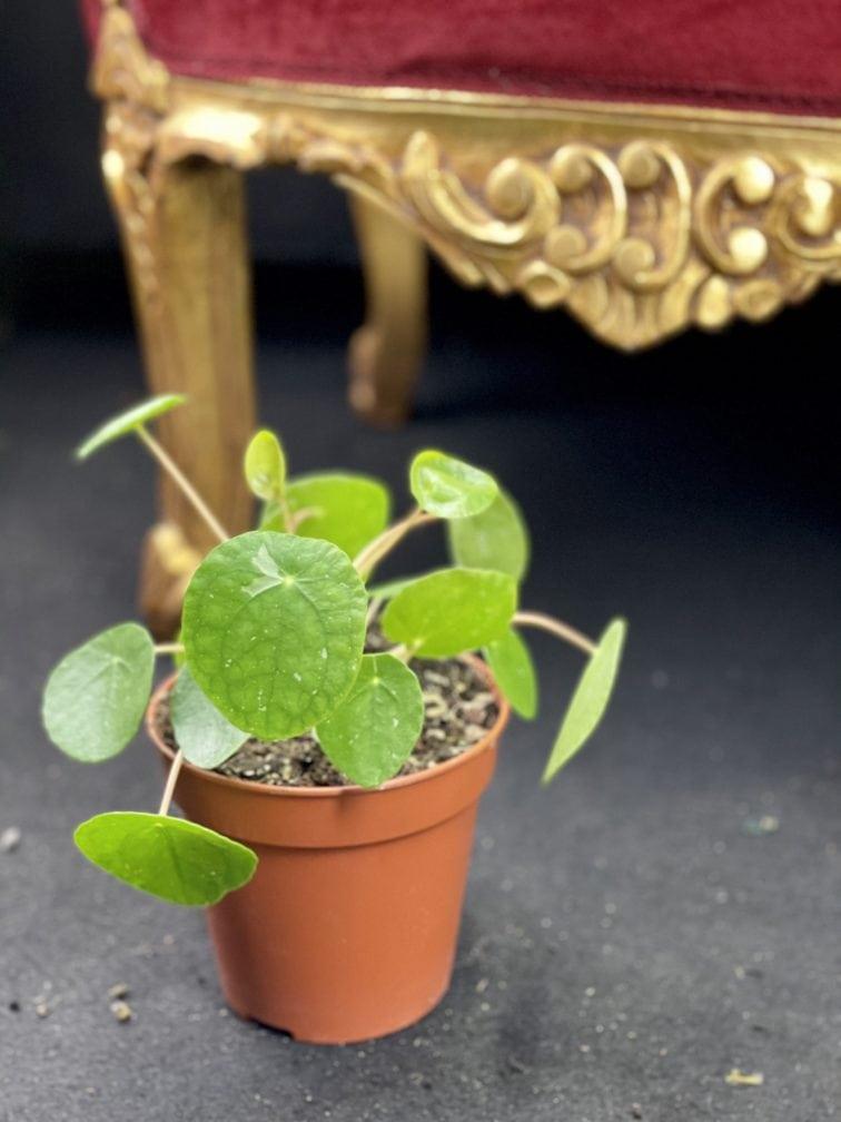 Zdjęcie rośliny Pilea White Splash, ujęcie 2