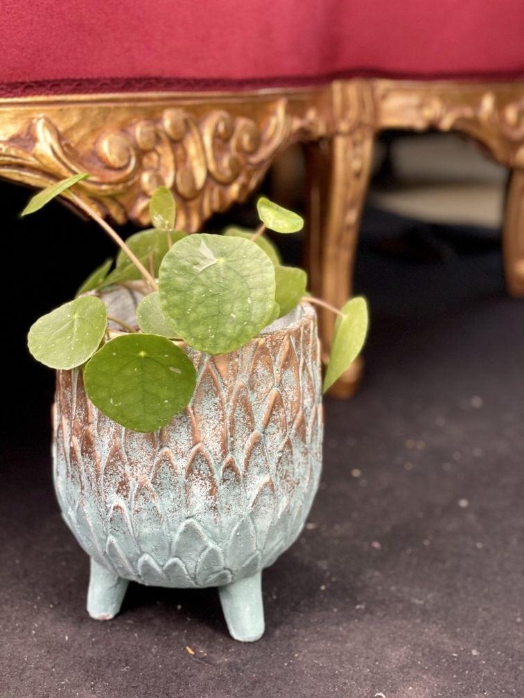 Zdjęcie rośliny Pilea White Splash, ujęcie 3