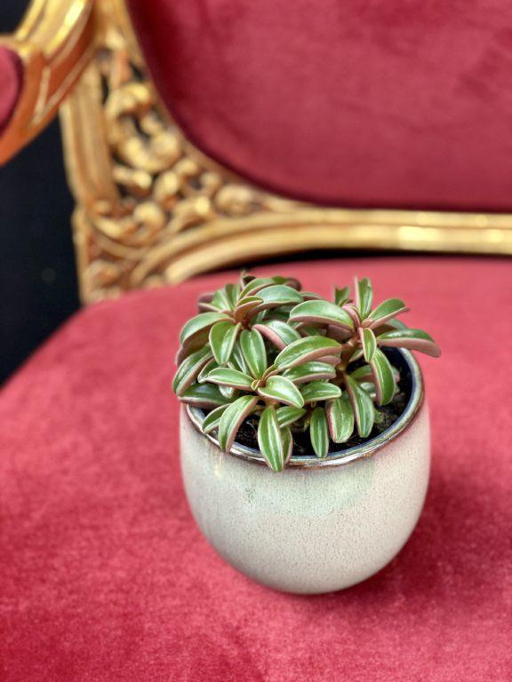 Zdjęcie rośliny Peperomia Ruby Glow, ujęcie 1