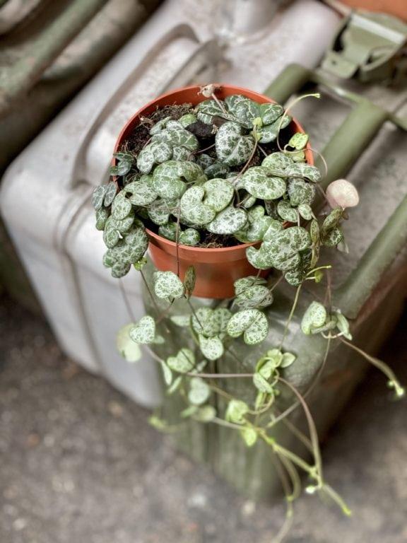 Zdjęcie rośliny Ceropegia woodi, ujęcie 1