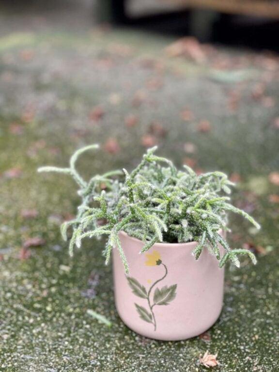 Zdjęcie rośliny Rhipsalis Pilocarpa, ujęcie 1