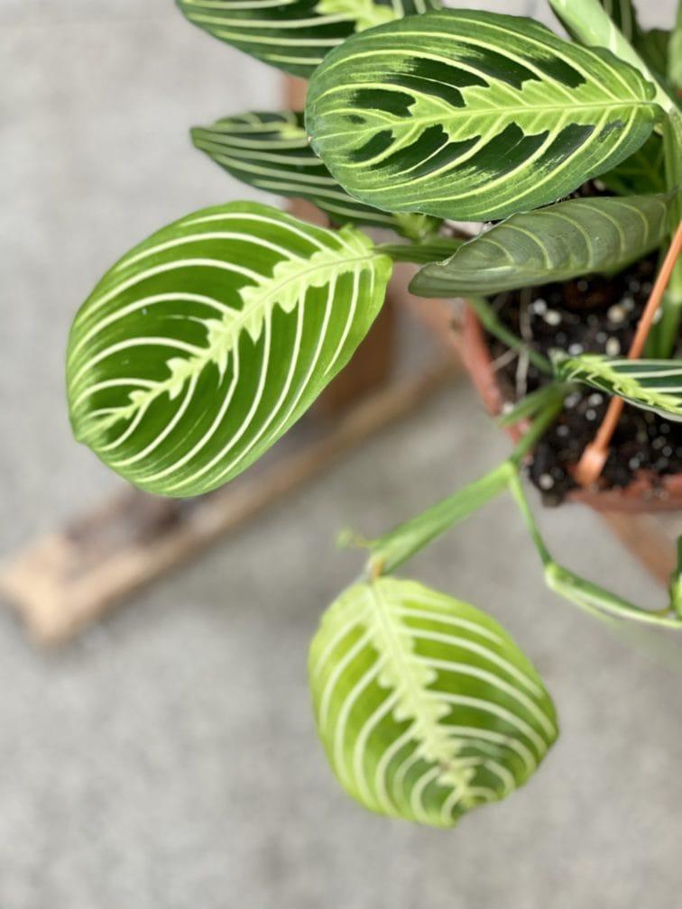 Zdjęcie rośliny Maranta Lemon Lime, ujęcie 4