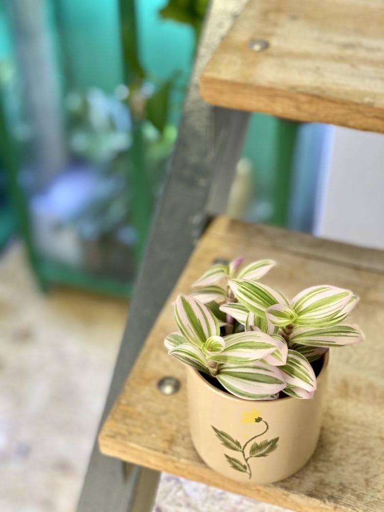 Zdjęcie rośliny Tradescantia Albiflora Nanouk (Trzykrotka Nanouk), ujęcie 3