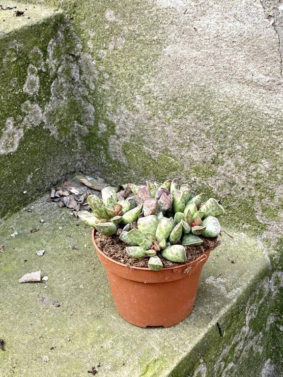 Zdjęcie rośliny Adromischus Cooperii, ujęcie 1