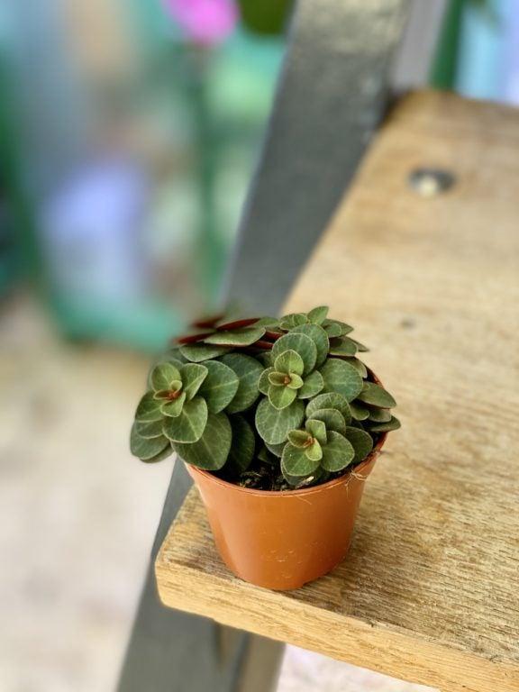 Zdjęcie rośliny Peperomia verticillata Red Log, ujęcie 1