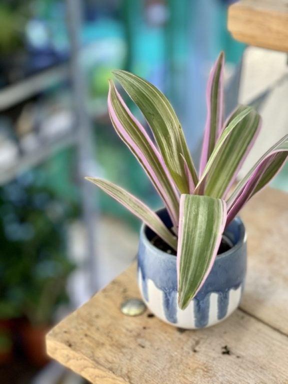 Zdjęcie rośliny Tradescantia Purple Flame (Trzykrotka ), ujęcie 1