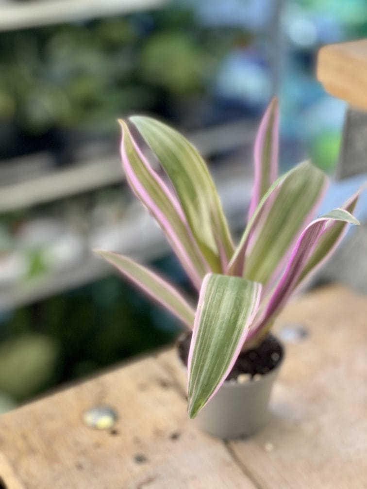 Zdjęcie rośliny Tradescantia Purple Flame (Trzykrotka ), ujęcie 2