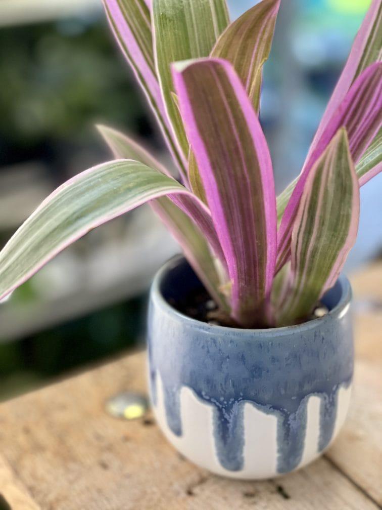 Zdjęcie rośliny Tradescantia Purple Flame (Trzykrotka ), ujęcie 3