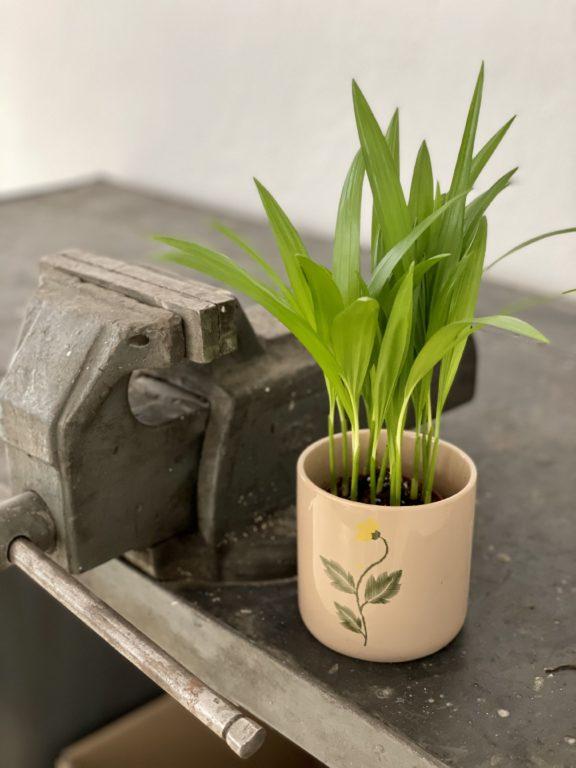 Zdjęcie rośliny Areca, ujęcie 1