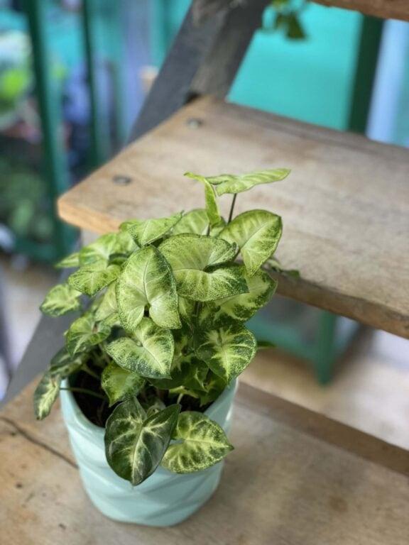 Zdjęcie rośliny Syngonium Podophyllum Pixie, ujęcie 1