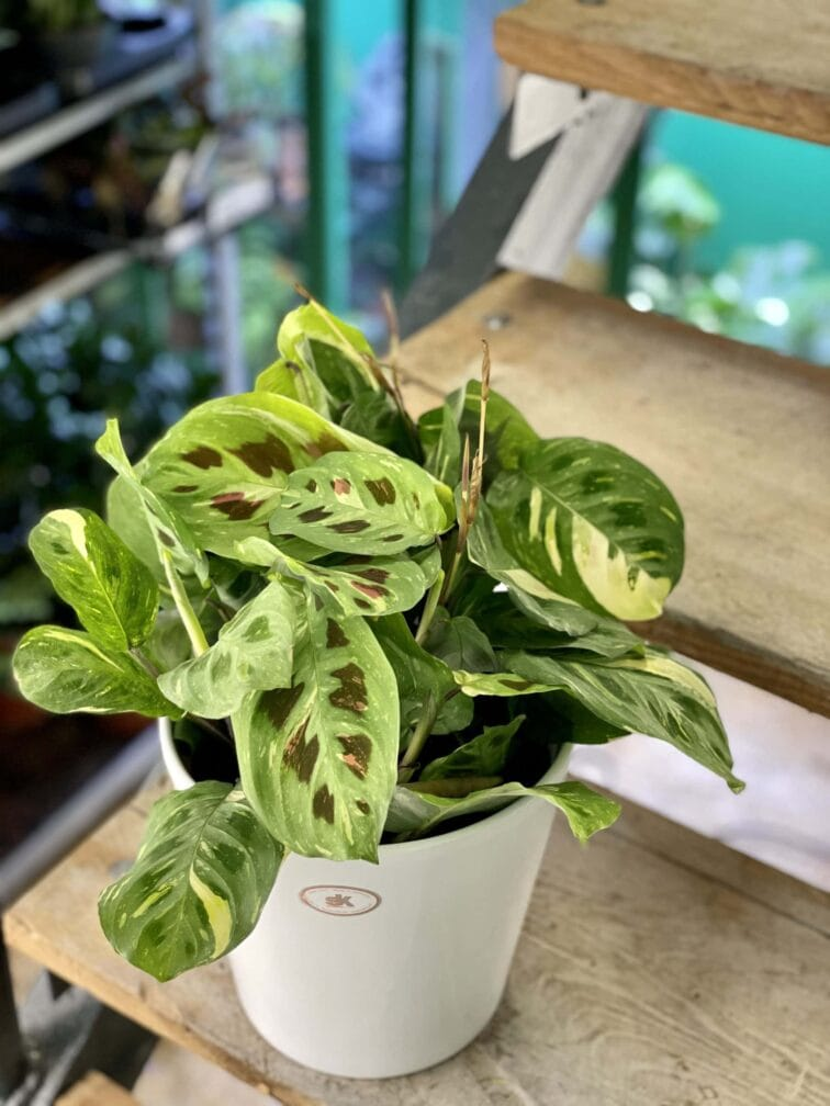 Zdjęcie rośliny Marantha Kerchoveana Variegata, ujęcie 2