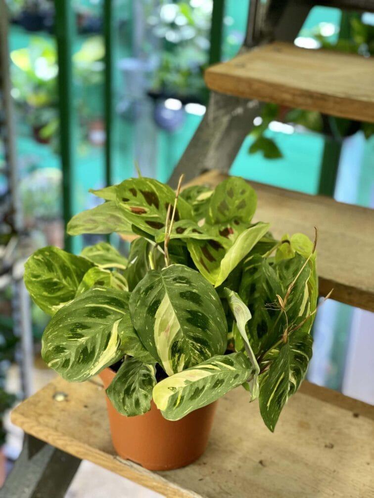 Zdjęcie rośliny Marantha Kerchoveana Variegata, ujęcie 4