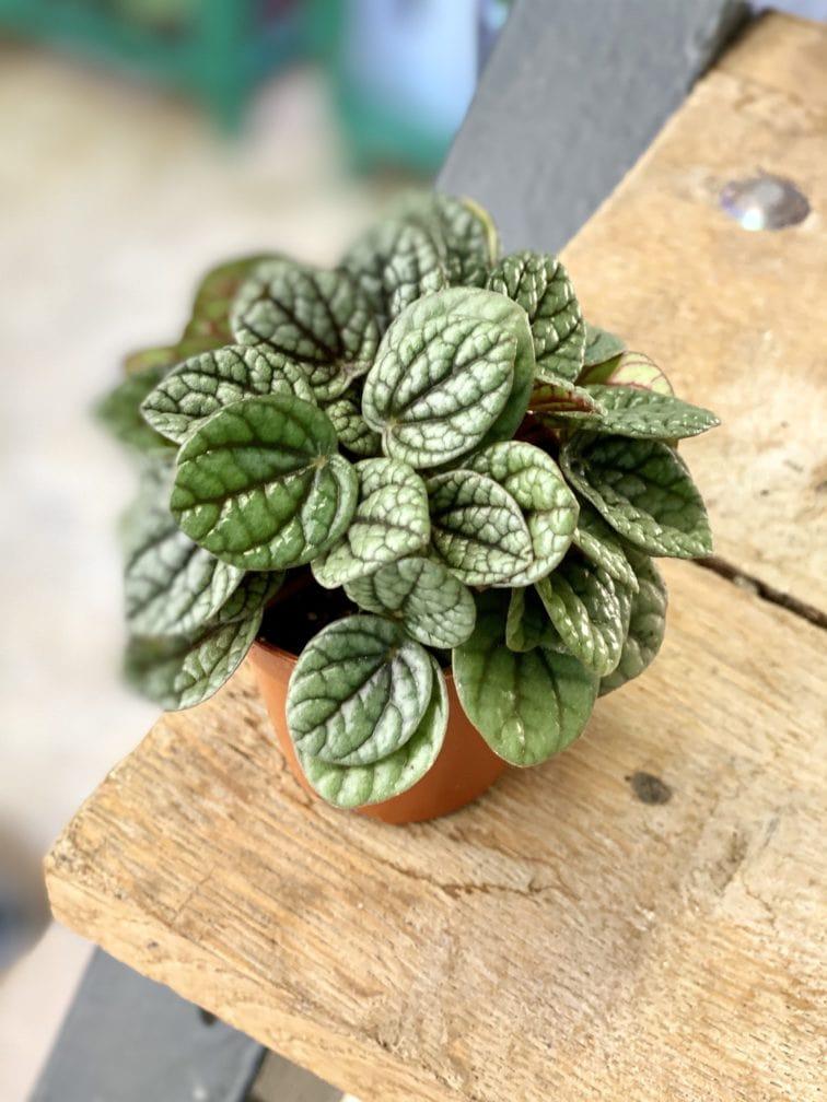 Zdjęcie rośliny Peperomia caperata Luna Grey, ujęcie 1