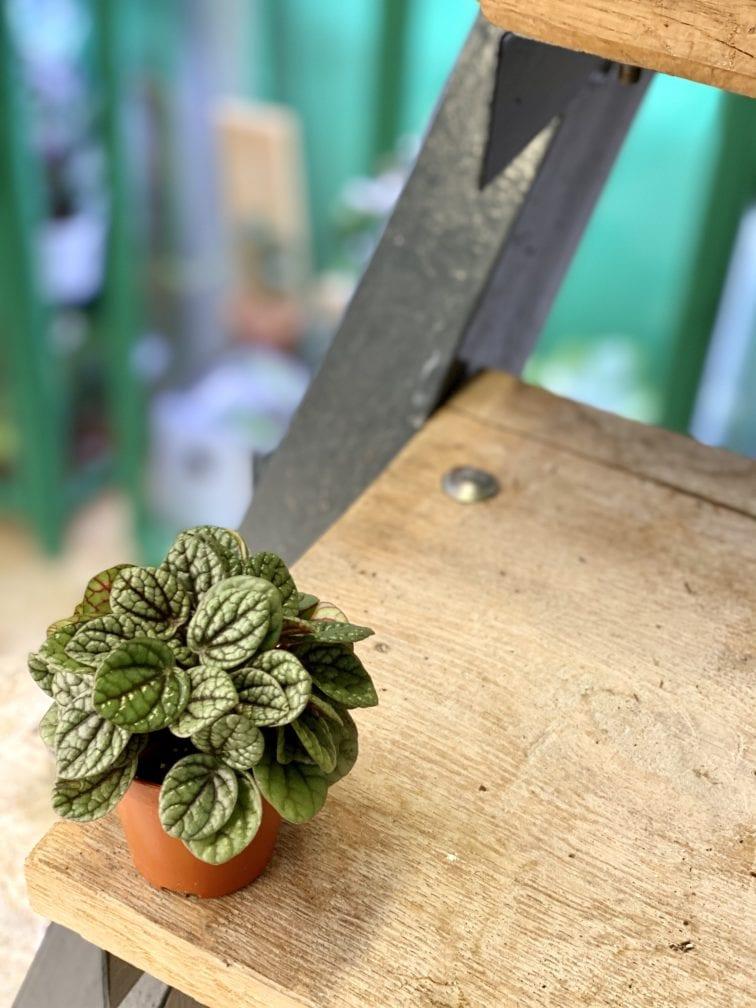 Zdjęcie rośliny Peperomia caperata Luna Grey, ujęcie 3