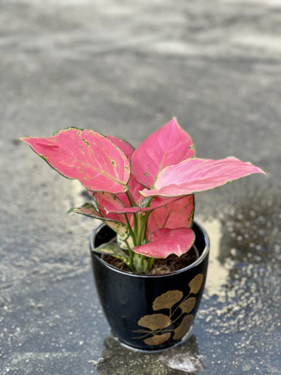 Zdjęcie rośliny Aglaonema Red Master, ujęcie 1