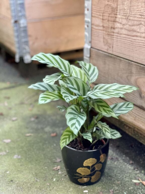Zdjęcie rośliny Calathea Freddie, ujęcie 1
