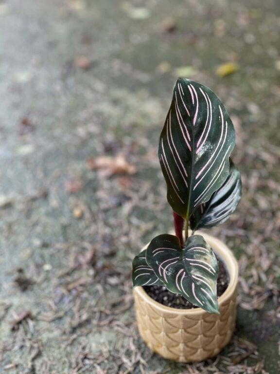 Zdjęcie rośliny Calathea Sanderiana, ujęcie 1