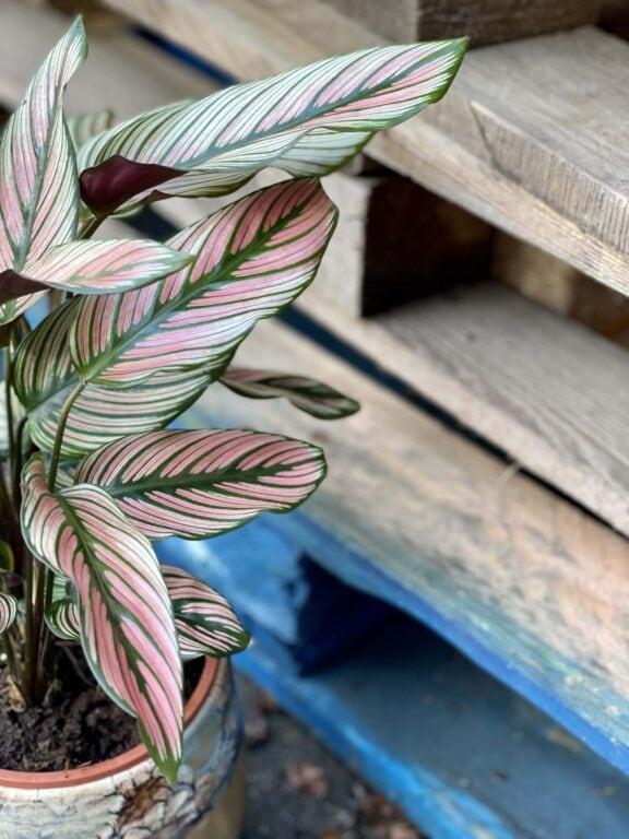 Zdjęcie rośliny Calathea White Star, ujęcie 1