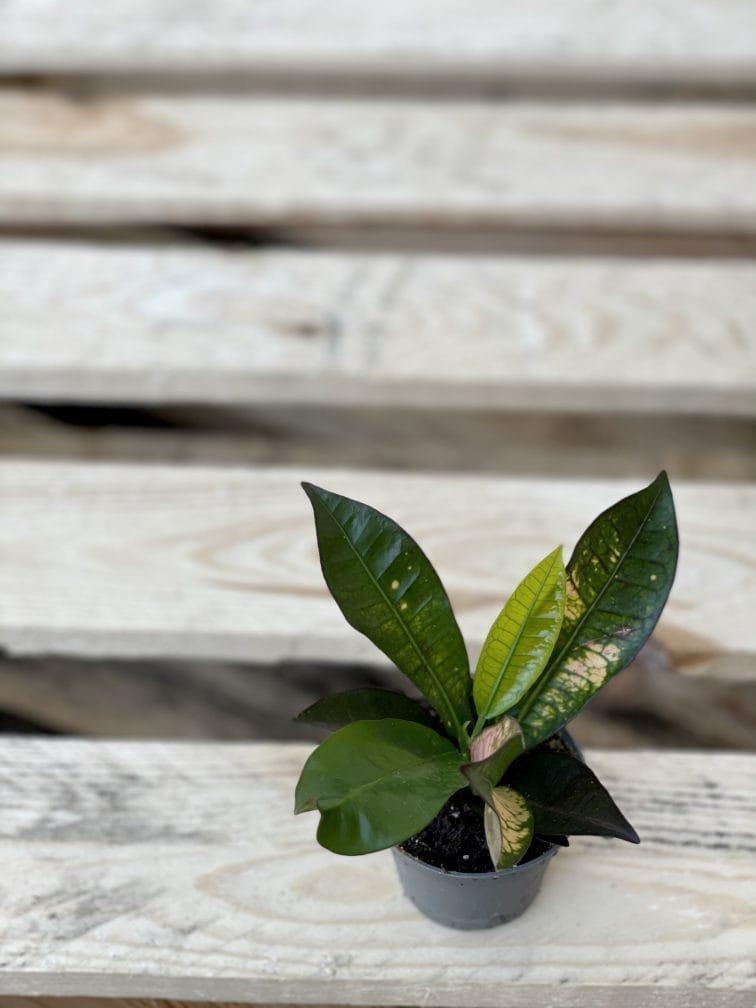 Zdjęcie rośliny Codiaeum Aicton, ujęcie 2