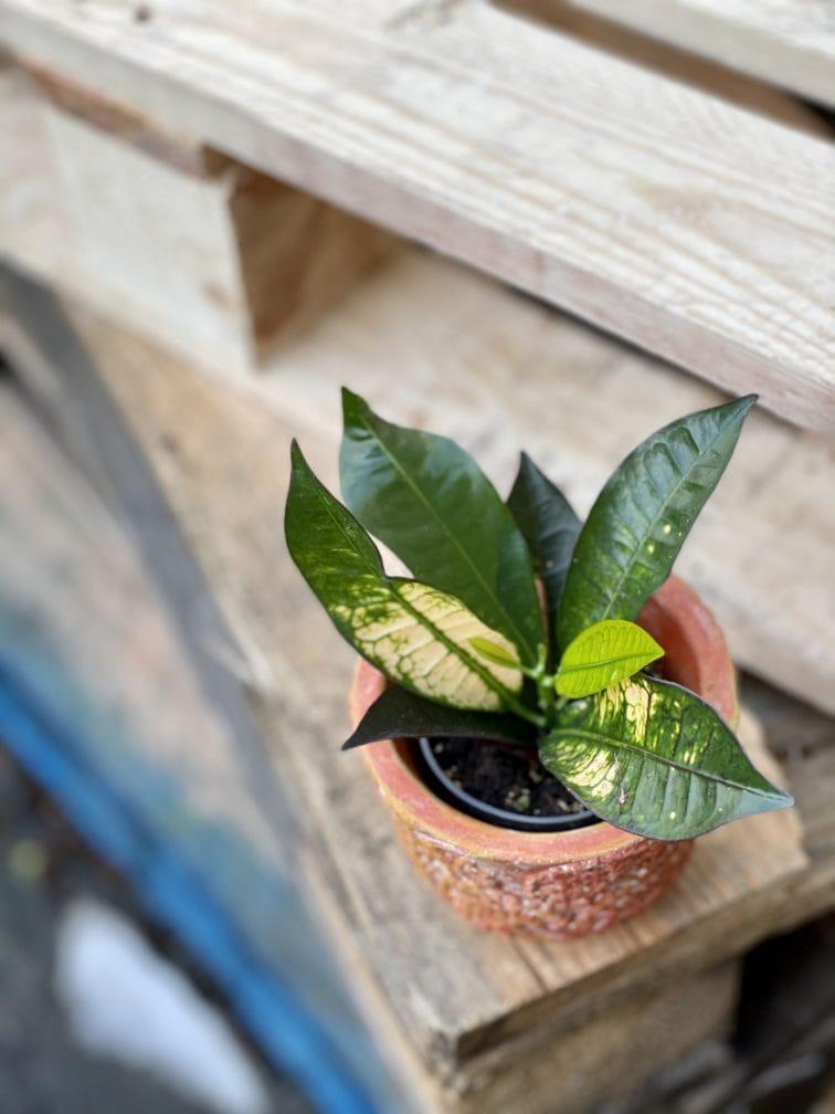 Zdjęcie rośliny Codiaeum Aicton, ujęcie 3