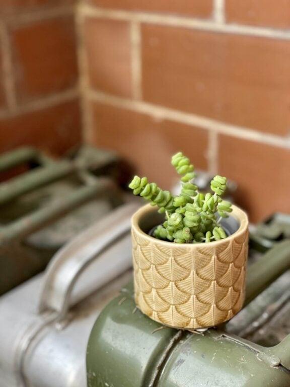 Zdjęcie rośliny Crassula Hottentot, ujęcie 1