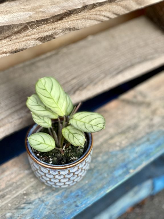 Zdjęcie rośliny Ctenanthe Amagris, ujęcie 1