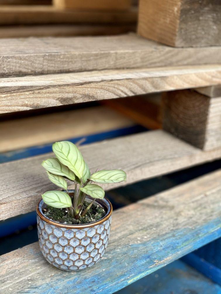 Zdjęcie rośliny Ctenanthe Amagris, ujęcie 2