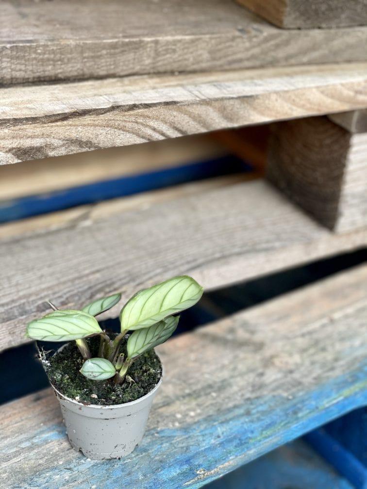 Zdjęcie rośliny Ctenanthe Amagris, ujęcie 3
