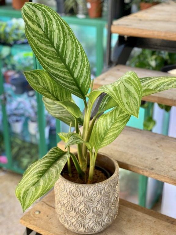 Zdjęcie rośliny Aglaonema Stripes, ujęcie 1