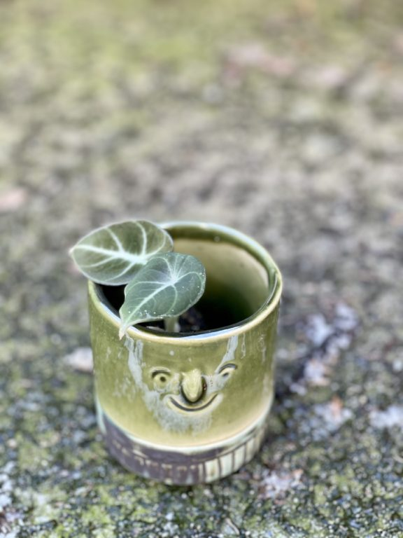 Zdjęcie rośliny Alocasia Black Velvet, ujęcie 1