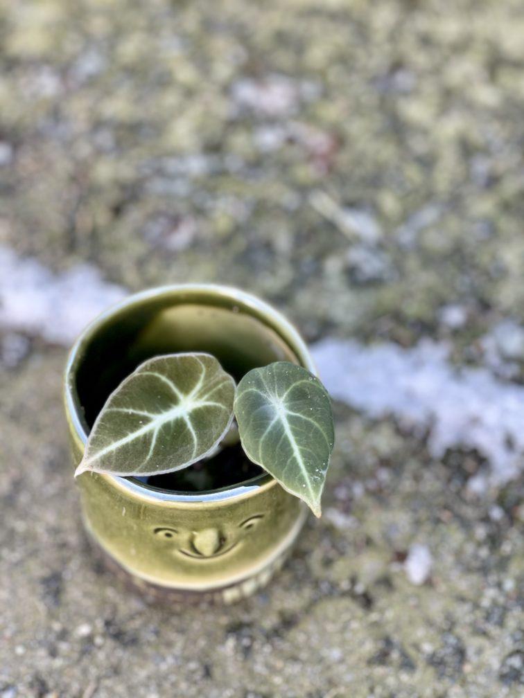 Zdjęcie rośliny Alocasia Black Velvet, ujęcie 2