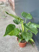 Zdjęcie rośliny Alocasia cucullata variegata IV, ujęcie 1