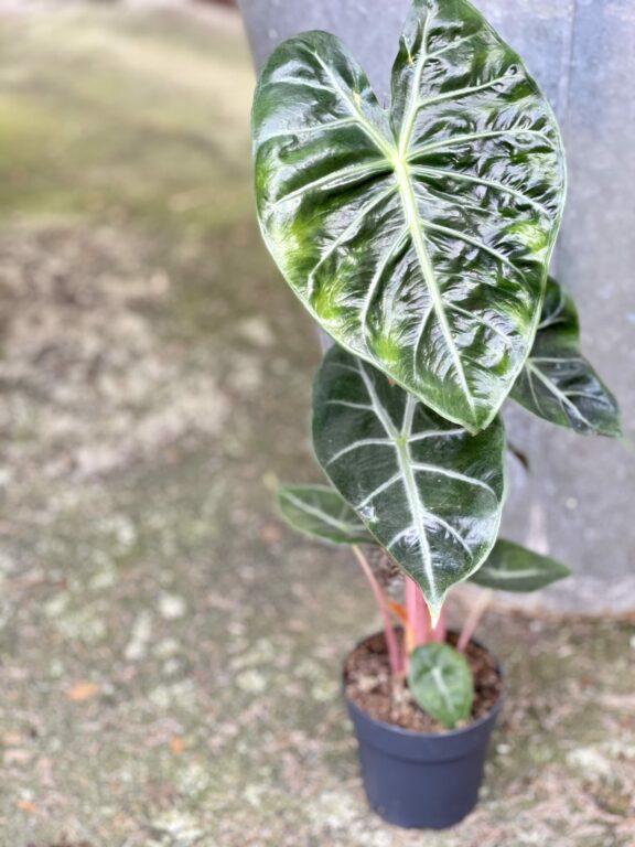 Zdjęcie rośliny Alocasia Pink Dragon, ujęcie 1