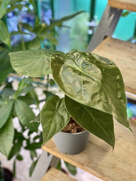 Zdjęcie rośliny Alocasia wentii, ujęcie 1
