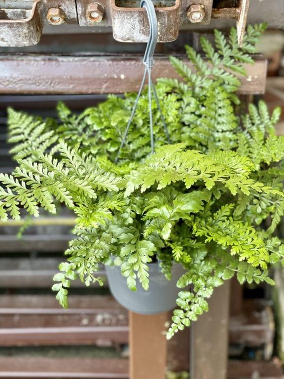 Zdjęcie rośliny Asplenium Parvati, ujęcie 1