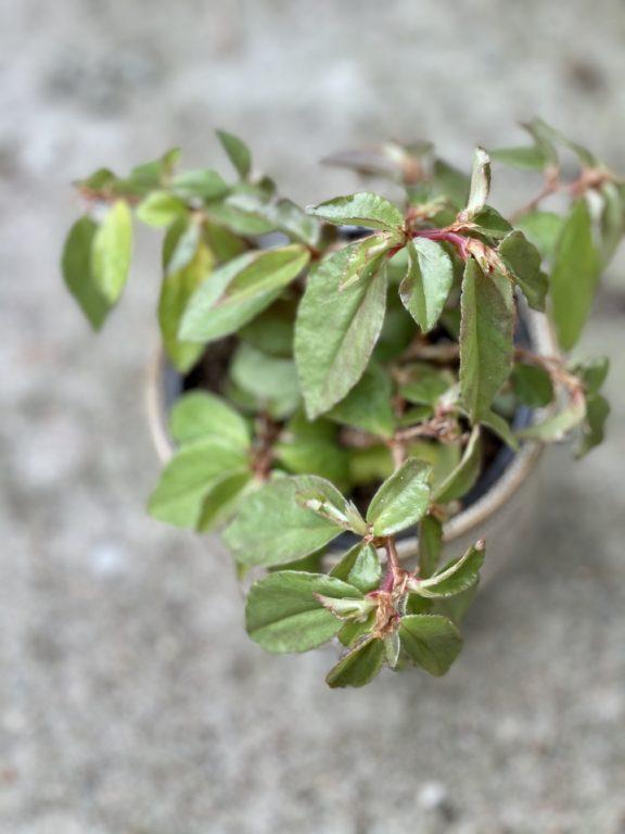 Zdjęcie rośliny Begonia fuchsioides, ujęcie 1